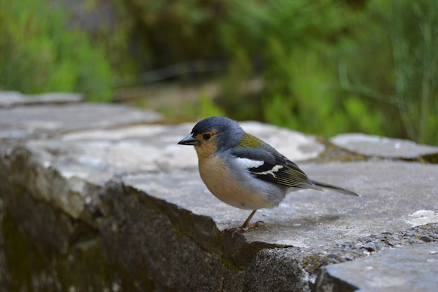 Oiseau bleu à madère