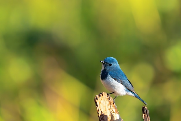 Oiseau bleu moucherolle bleu outremer