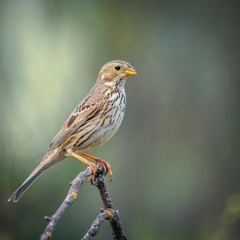 Oiseau de brousse sauvage perché sur une fine branche.