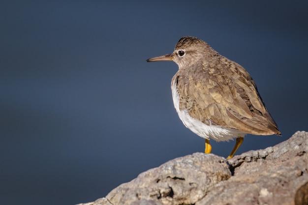 Oiseau brun et blanc sur rocher gris
