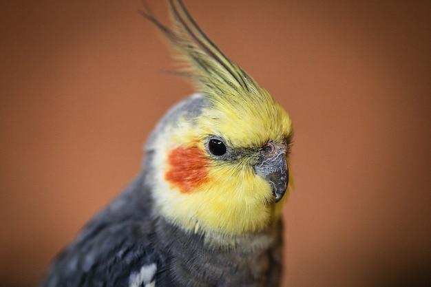 Oiseau calopsitte, tête sur gros plan d'oiseau domestique