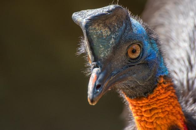 Oiseau de casoar du nord dans la nature