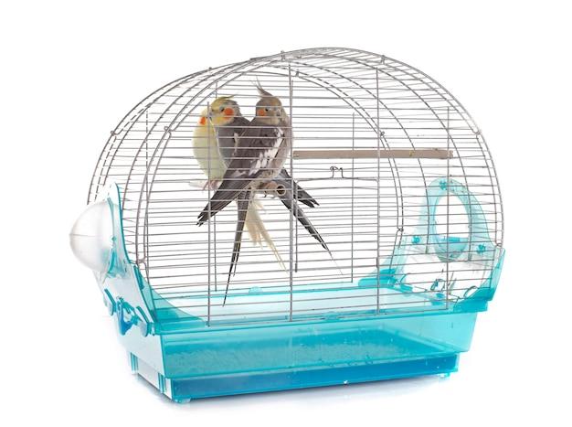 Oiseau cockatiel en cage