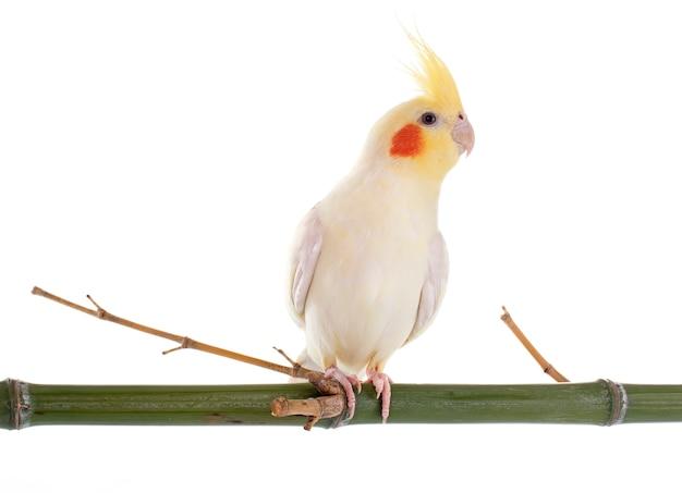 Oiseau cockatiel