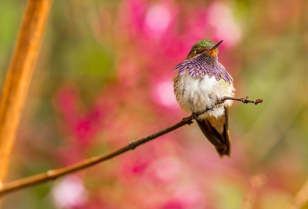 Oiseau colibri oiseau au costa rica