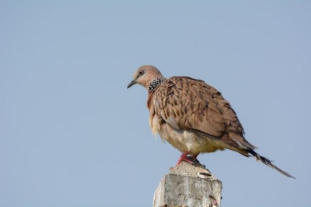 Oiseau colombe tacheté
