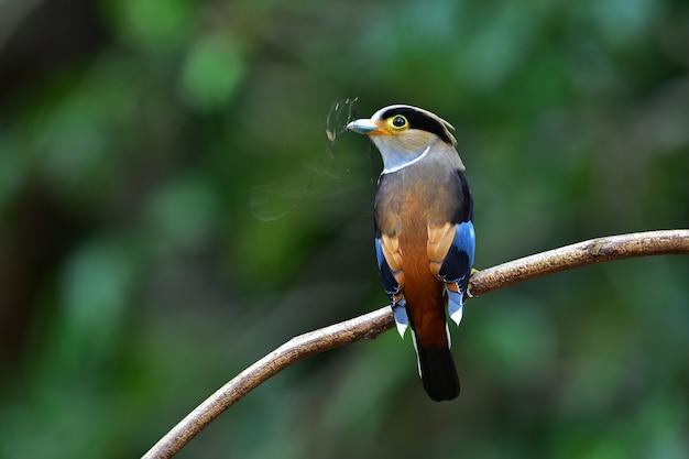 Oiseau coloré broadbil à poitrine argentée