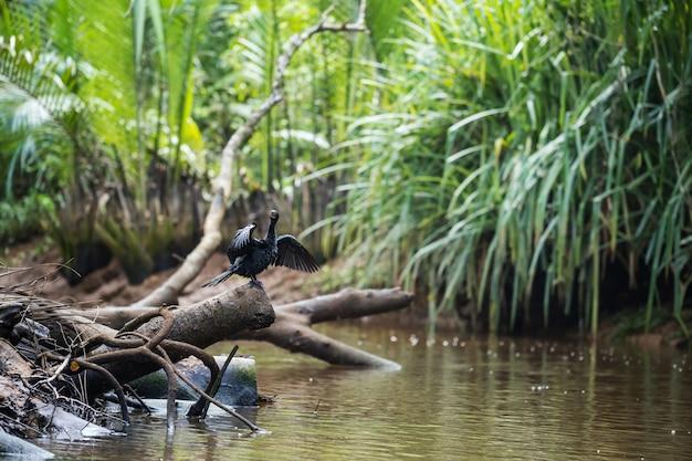 Oiseau cormoran à aigrettes répandant et séchant les ailes sur le tronc de l'arbre à little amazon
