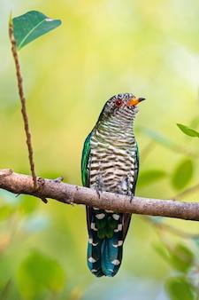 Oiseau coucou émeraude asiatique dans la nature