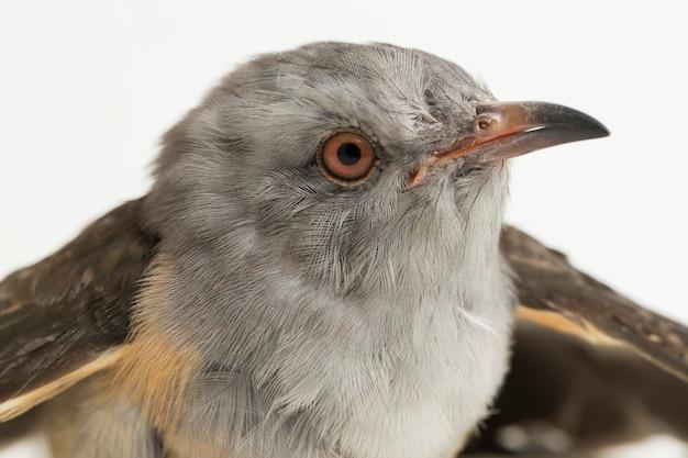 Un oiseau coucou plaintif cacomantis merulinus isolé sur fond blanc