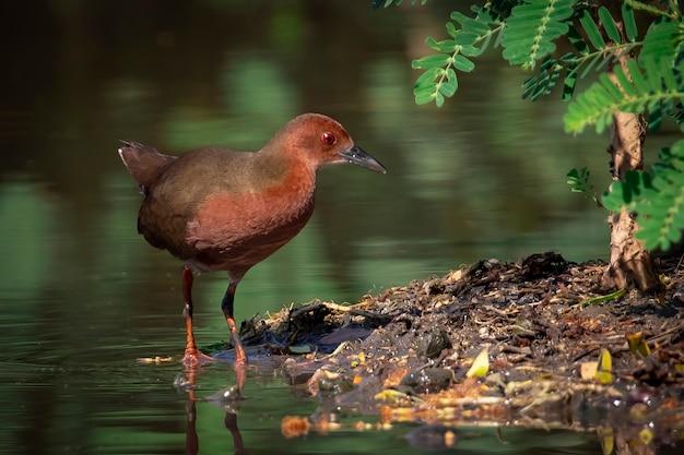 Oiseau crake à poitrine rousse cherche de la nourriture dans les marais