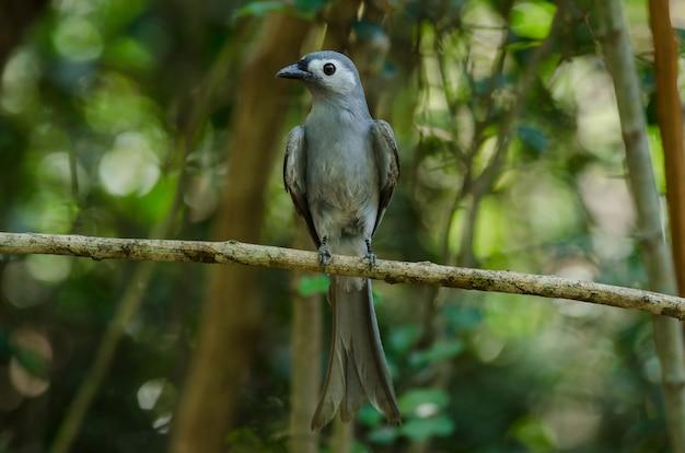 Oiseau drongo cendré perché sur une branche