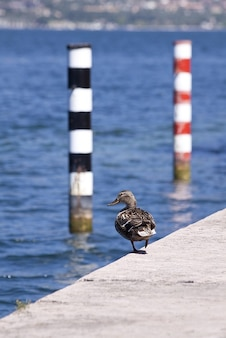 Oiseau femelle banque natation canards colvert