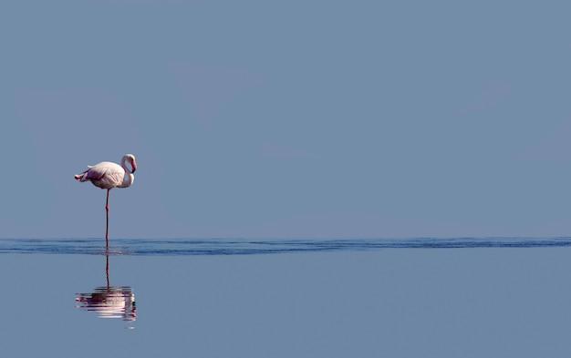 Un oiseau de flamant rose africain se promenant dans le lagon et cherchant de la nourriture