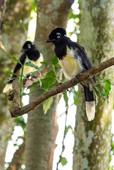 Oiseau geai à crête en peluche dans la forêt d'iguazu