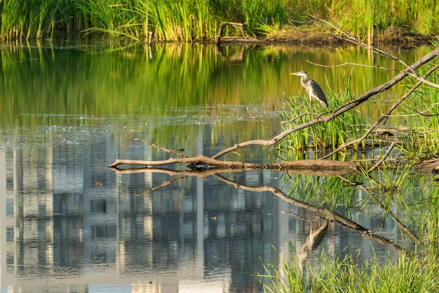 Oiseau gris héron dans un étang de la ville.