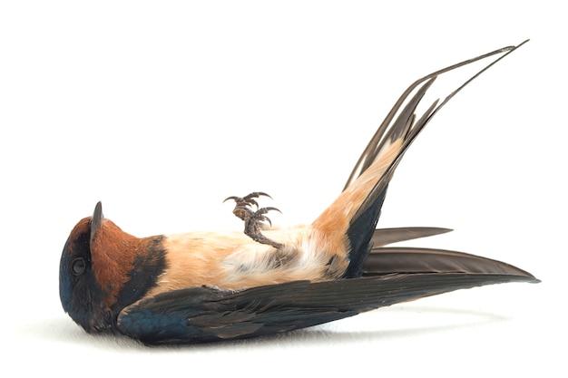 Oiseau hirondelle rustique sur fond blanc