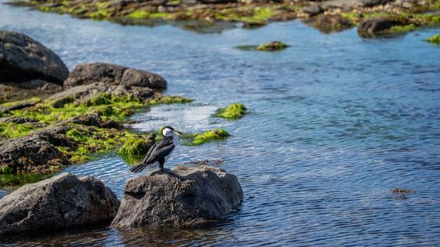 Oiseau huîtrier en nouvelle-zélande