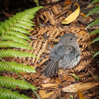 Oiseau indigène stewart island robin nichant sur le sol tourné sur l'île d'ulva stewart island