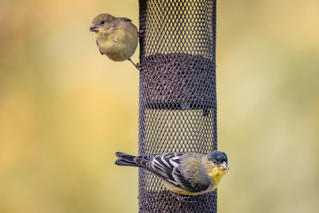 Oiseau jaune et noir sur filet noir