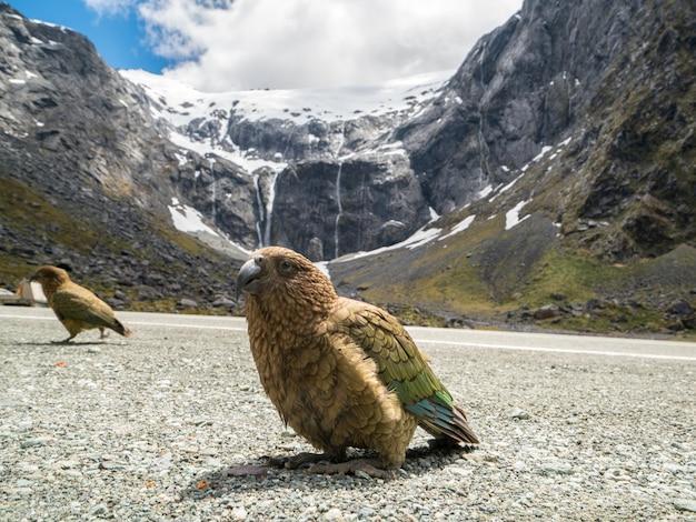 Oiseau kea en nouvelle-zélande