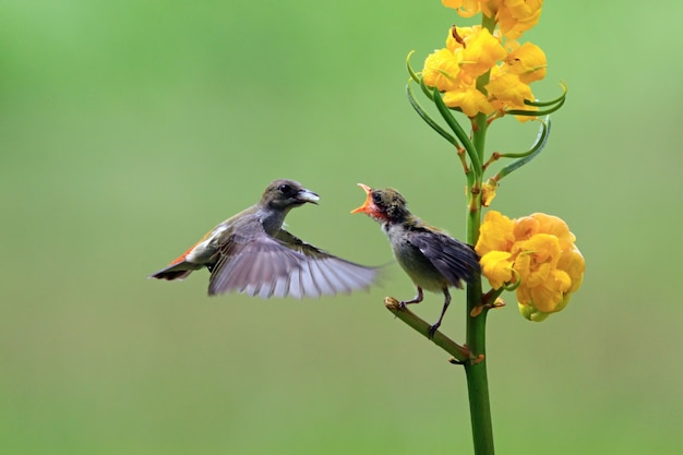 L'oiseau kemande (dicaeum trochileum) nourrit ses petits