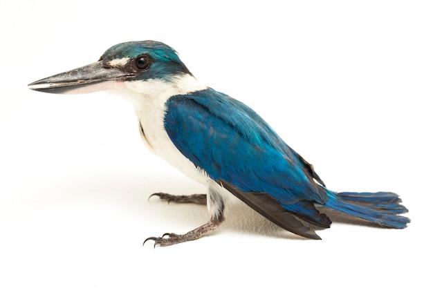 L'oiseau kingfisher à collier (todiramphus chloris) isolé