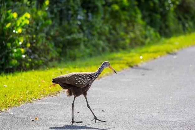 Un oiseau limpkin brun et blanc dans le parc national des everglades, usa, floride