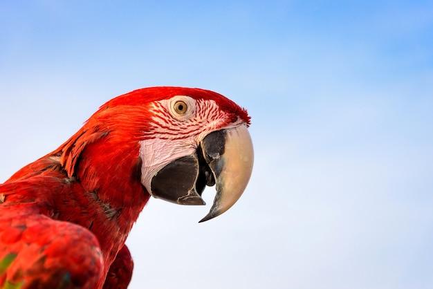 Oiseau macaw écarlate avec fond de ciel bleu