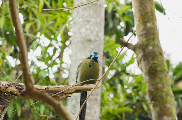 Oiseau momotus momota perché dans un arbre.