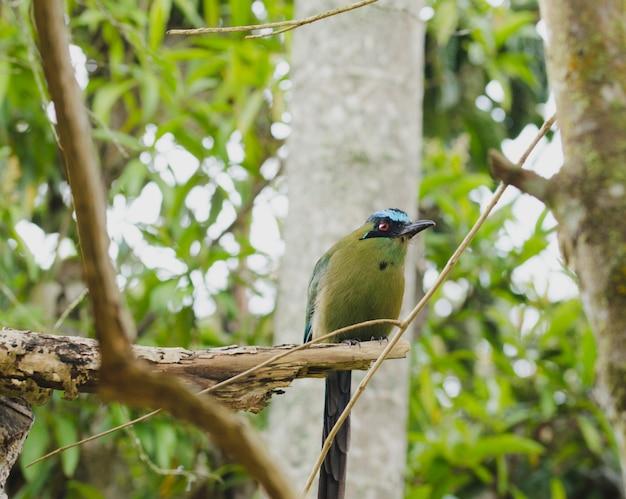 Oiseau Momotus Momota Perché Dans Un Arbre. Photo Premium
