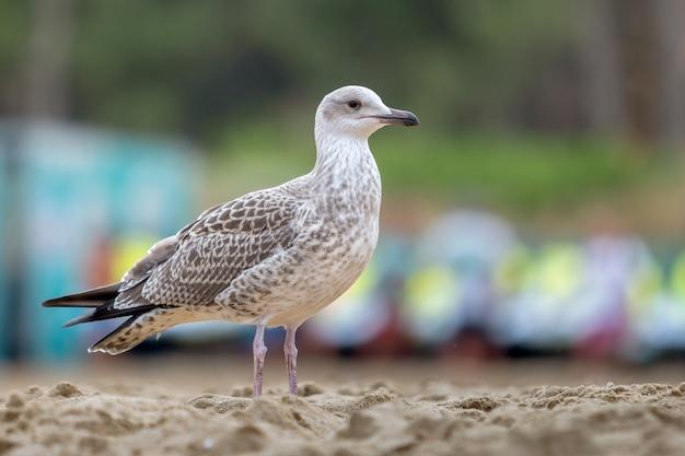 Oiseau mouette blanc et gris sur la plage de sable.