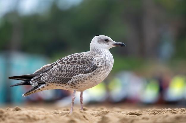 Oiseau mouette blanc et gris sur le rivage de la plage de sable.