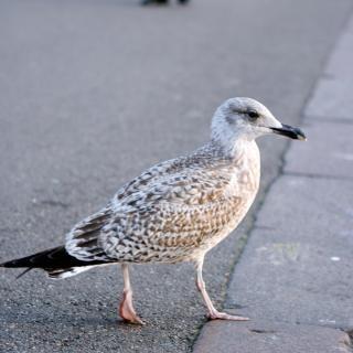 Oiseau mouette