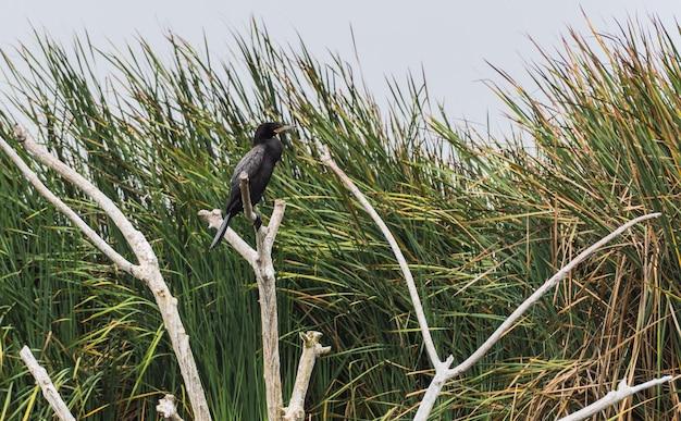 Oiseau noir appelé cushuri ou cormoran debout sur des branches avec fond de plantes totora
