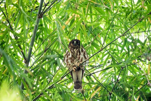 Oiseau (northern boobook) dans une nature sauvage