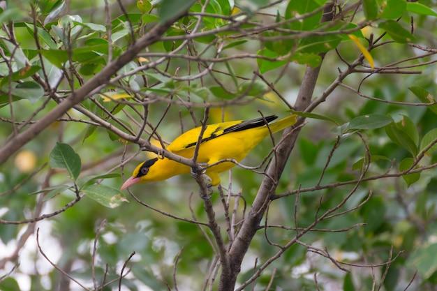 Oiseau (oriole noire, oriolus chinensi) couleur jaune perché sur un arbre dans le jardin