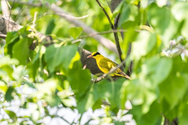 Oiseau (oriole à tête noire) dans une nature sauvage