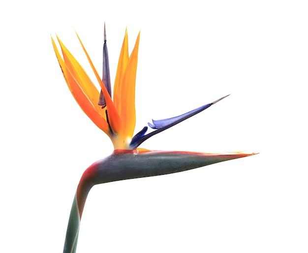 Oiseau de paradis plante isolée sur blanc