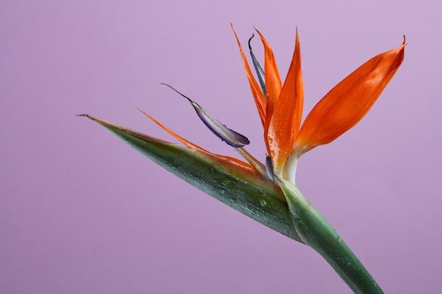 Oiseau de paradis ou strelitzia ou fleur de grue close up