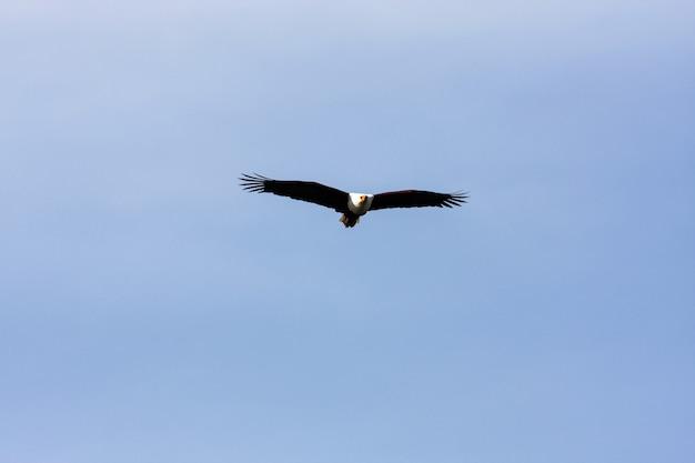 Oiseau pêcheur au-dessus du lac naivasha. afrique