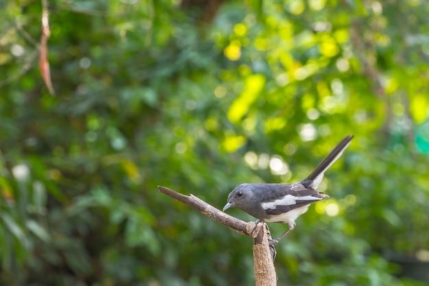 Oiseau (pie rouge-gorge ou copsychus saularis) femelle couleur noir et blanc