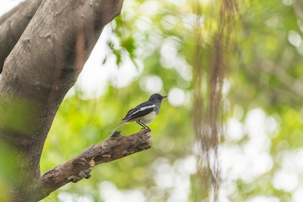 Oiseau (pie rouge-gorge ou copsychus saularis) femelle couleur noir, gris et blanc
