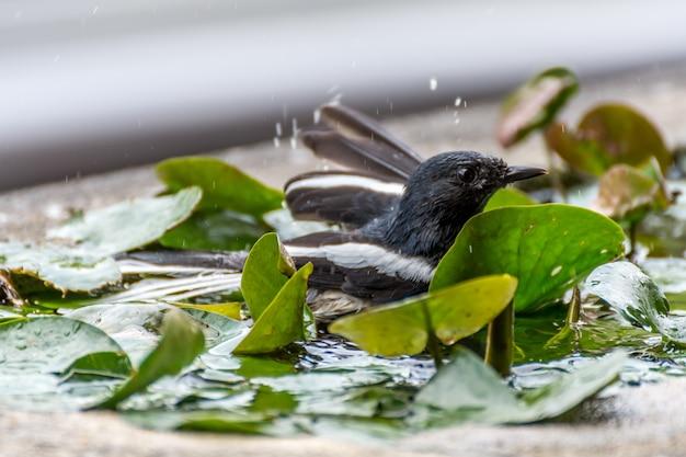 Oiseau (pie rouge-gorge ou copsychus saularis) mâle couleur noir et blanc