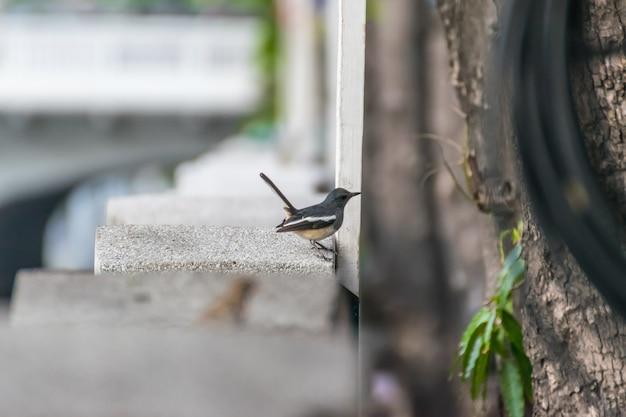 Oiseau (pie-rouge orientale ou copsychus saularis)