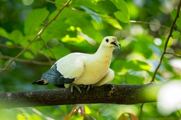 Oiseau (pigeon impérial pie). animaux.