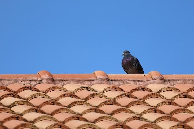 L'oiseau pigeon de la ville sur la maison au toit orange