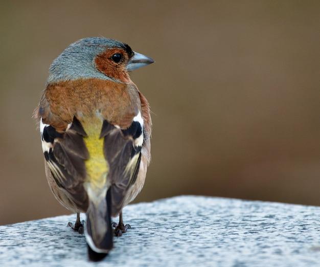 Oiseau pinson commun sur la pierre.