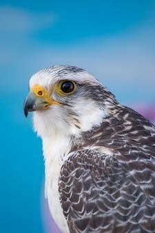 Oiseau de proie faucon pèlerin