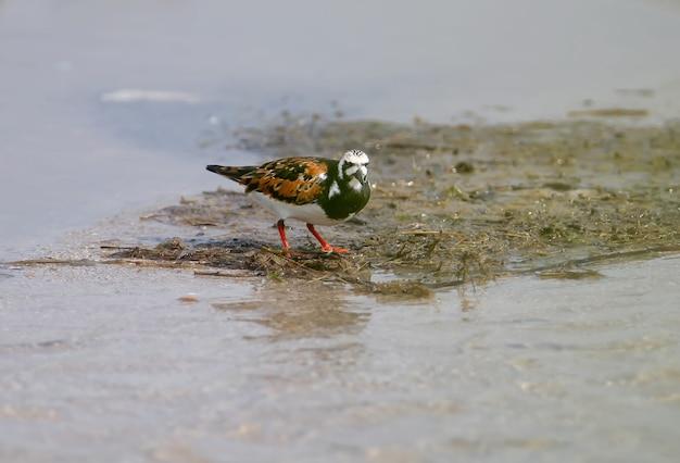 Un oiseau roux tournant (arenaria interpres) dans l'eau de l'estuaire.